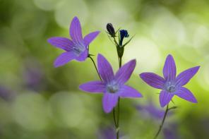 Flori de Rachitele