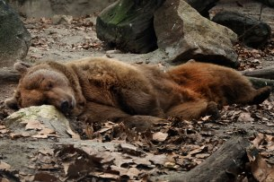 BUDAPEST, sleepy bear at ZOO