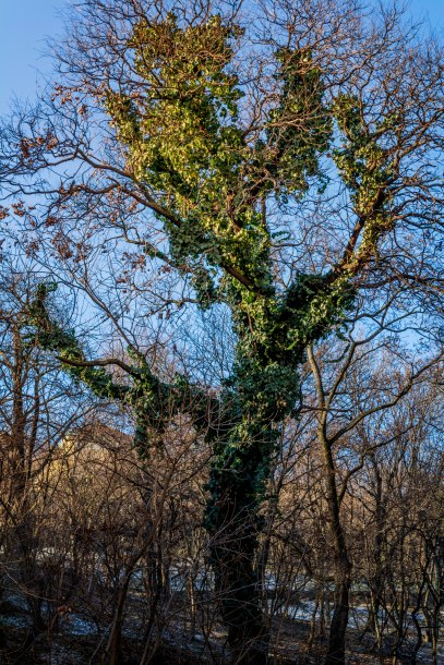 BUDAPEST, Interesting tree